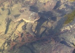 Erdkrötenmännchen