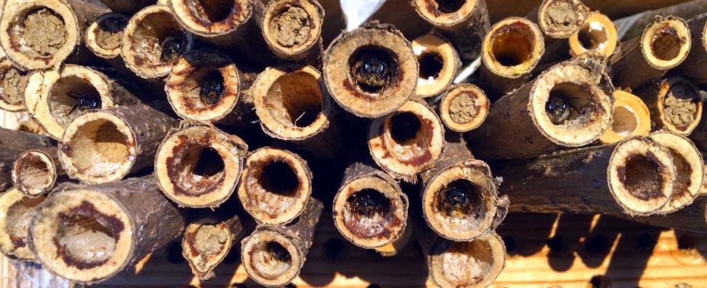 Mauerbienen in Morgensonne