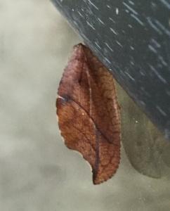 Totes Blatt (Drepanepteryx phalaenoides)