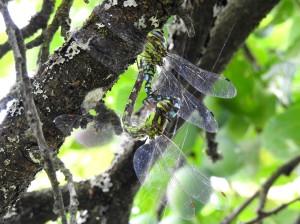 Blaugrüne Mosaikjungfer Paarungsrad