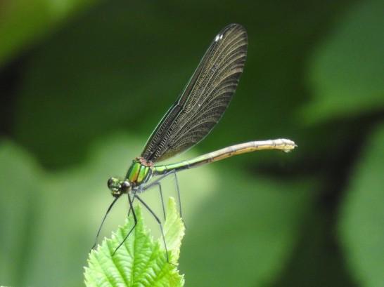 Blaufluegel-Prachtlibelle Weibchen
