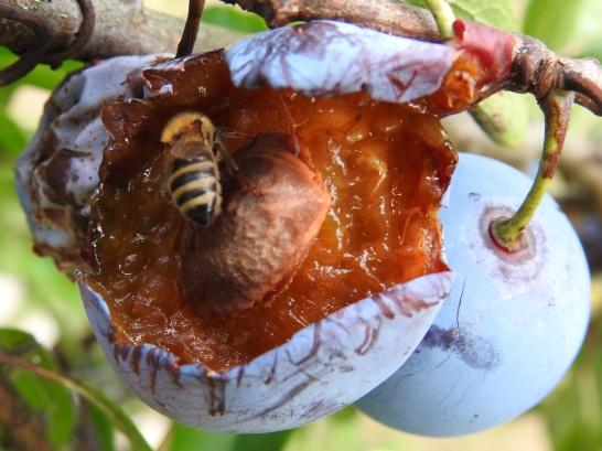 Biene frisst Zwetschke