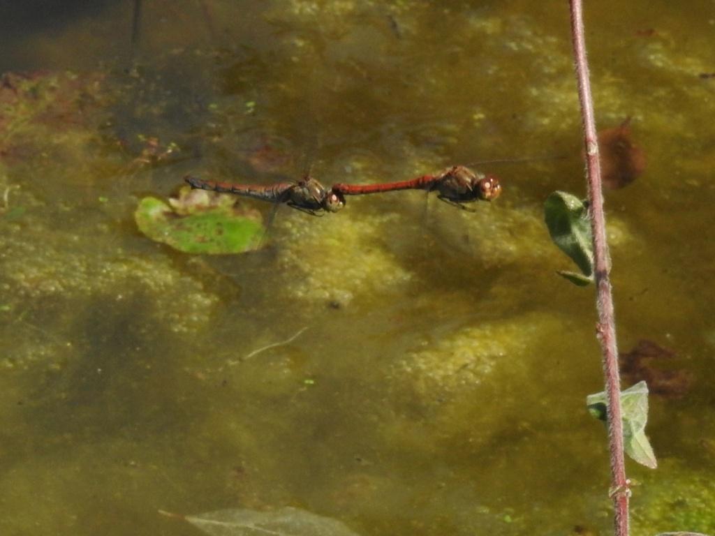 Heidelibellen beim Ablaichen
