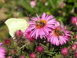 Zitronenfalter und Bienen