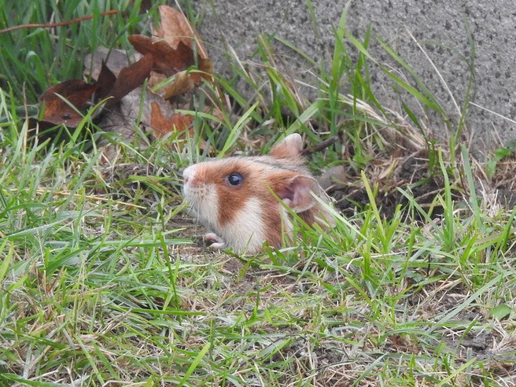 Hamster unter Erde