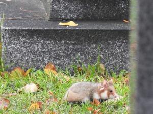 Hamster zwischen Gräbern