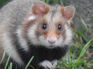 Hamsterportrait