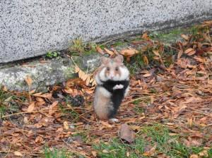 Stehender Hamster