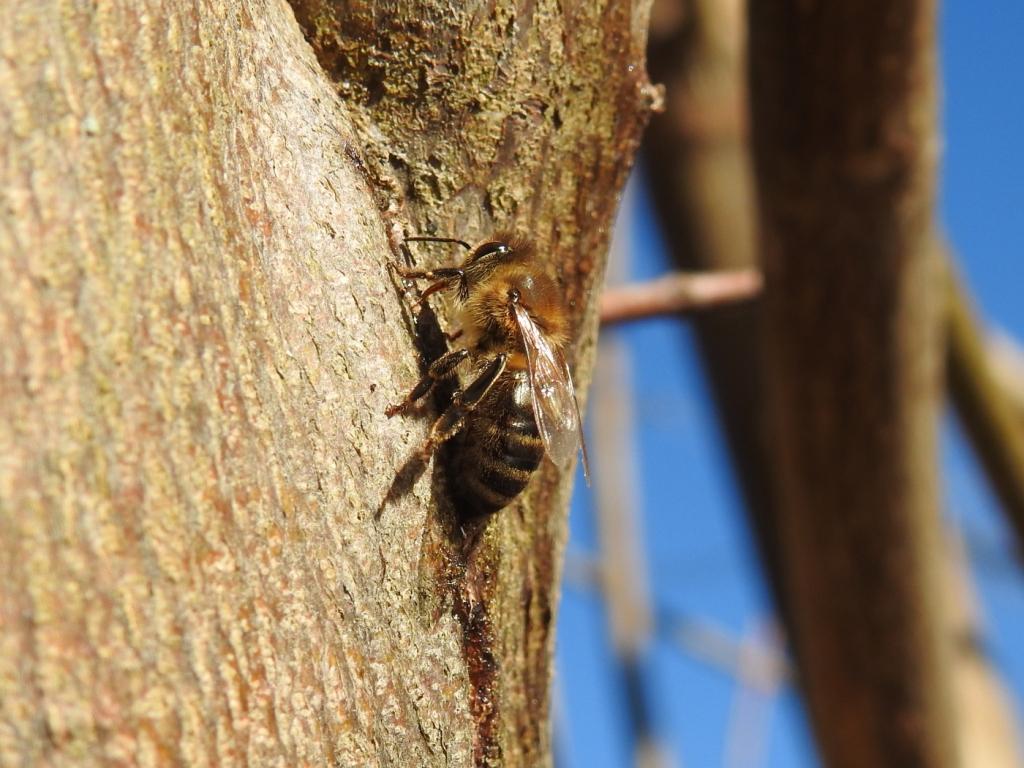 Biene auf Ahorhzweig