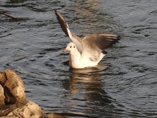 Schwimmende Möwe