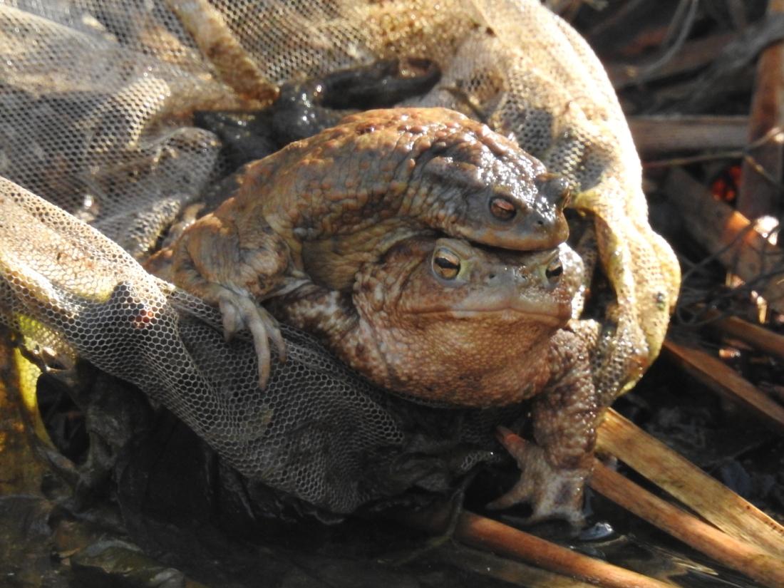 Kröten im Netz