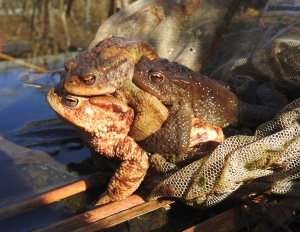 Erdkröten zu dritt