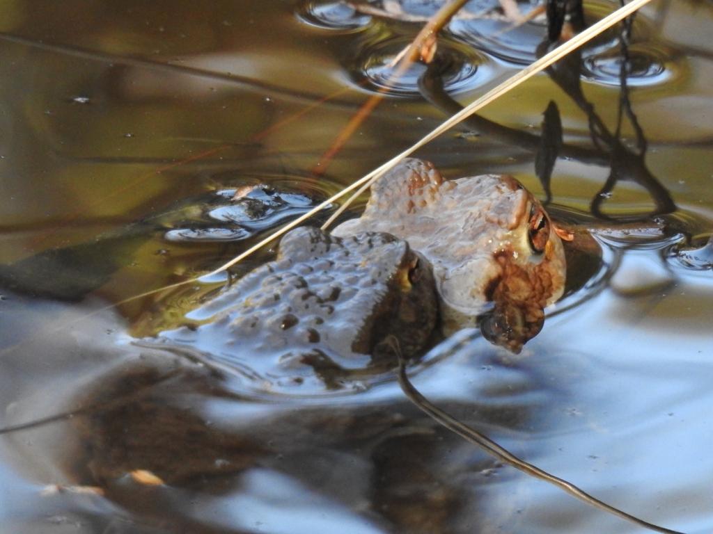 Erdkröte Paarung