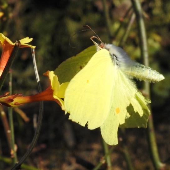 Zitronenfalter Männchen