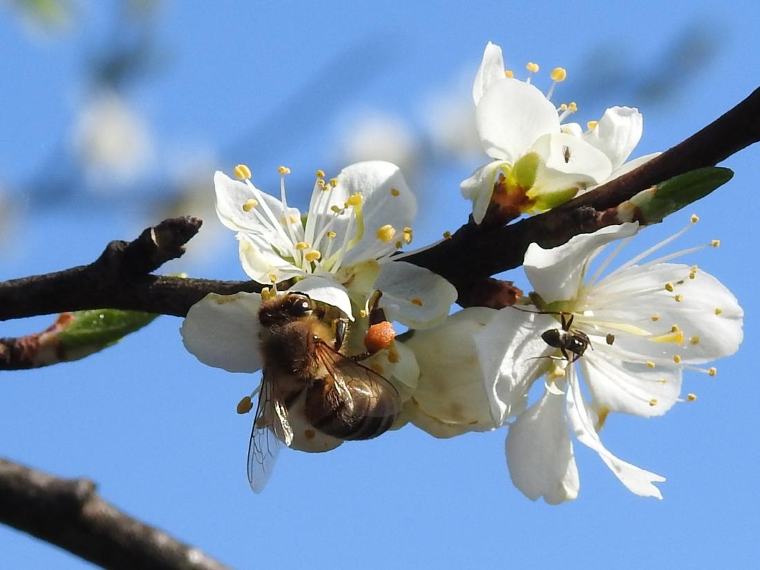 Biene auf Zwetschkenblüte