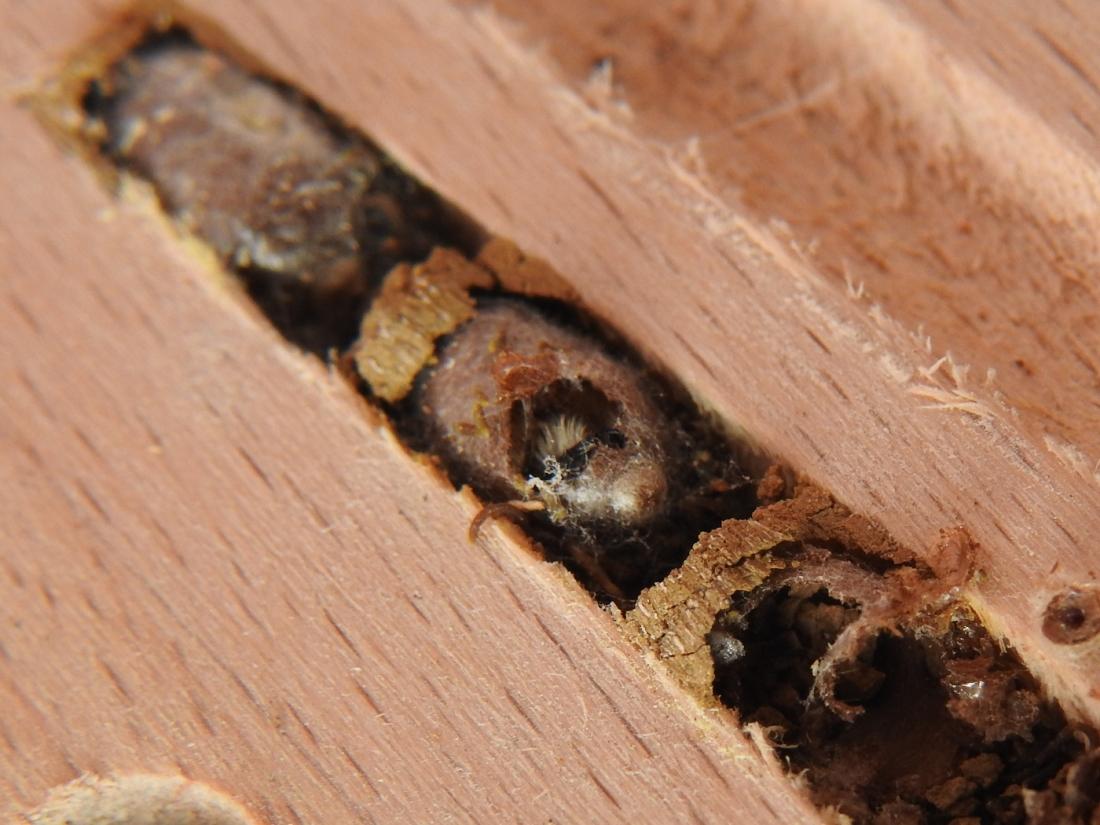 Schlüpfende Gehörnte Mauerbiene #1