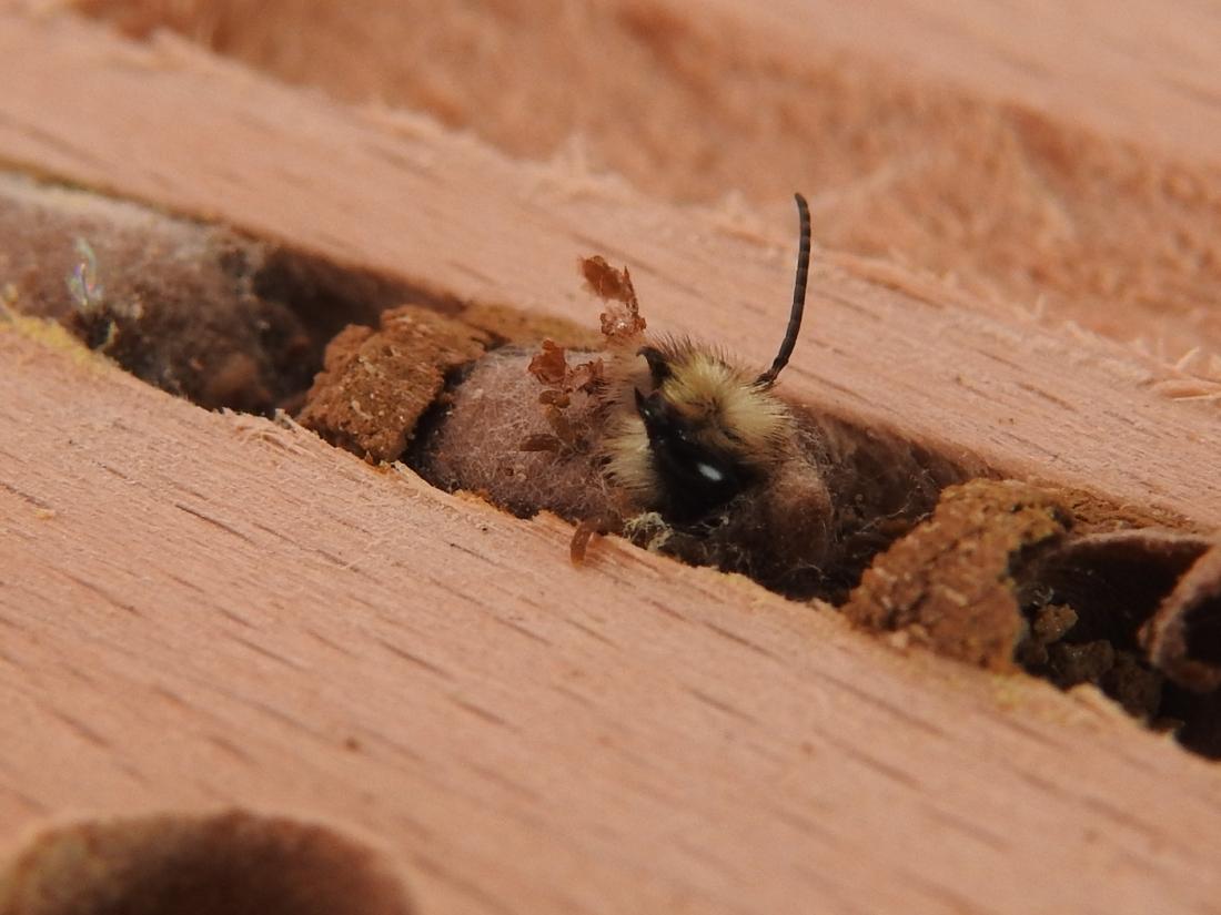 Schlüpfende Gehörnte Mauerbiene #2
