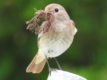 Gartenrotschwanz Weibchen