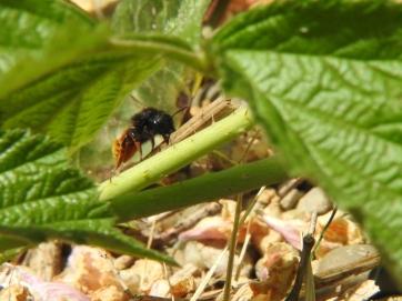 Zweifarbige Schneckenhausbiene