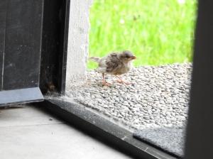 Kleiner Spatz vor der Tür