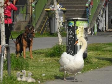 Schwäne am Donaukanal
