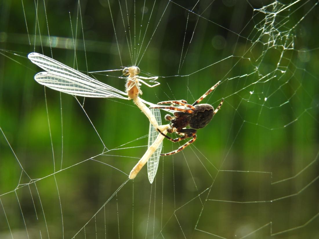 spinne-libelle