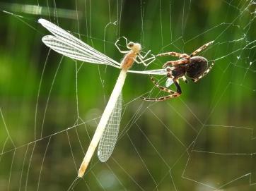 spinne-libelle1
