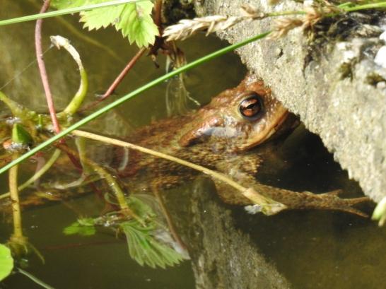 Erdkröte Männchen
