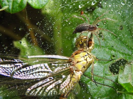 Große Heidelibelle im Spinnennetz