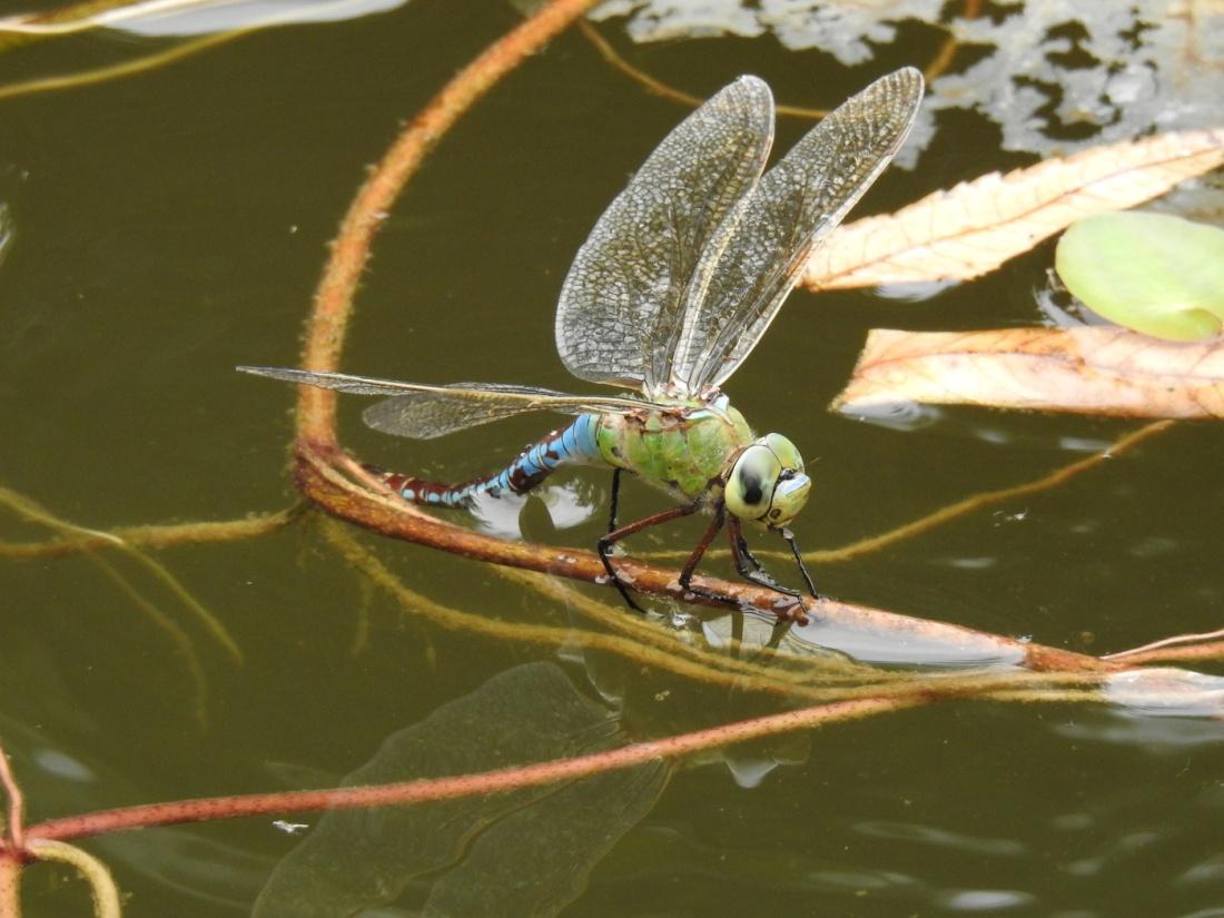 Große Königslibelle Weibchen
