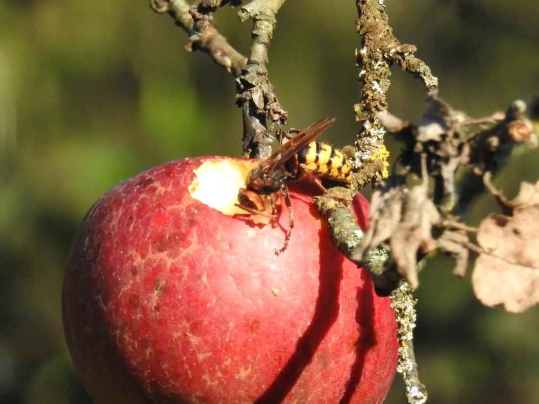 Hornisse mit Apfel