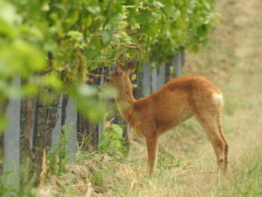 Reh im Weingarten