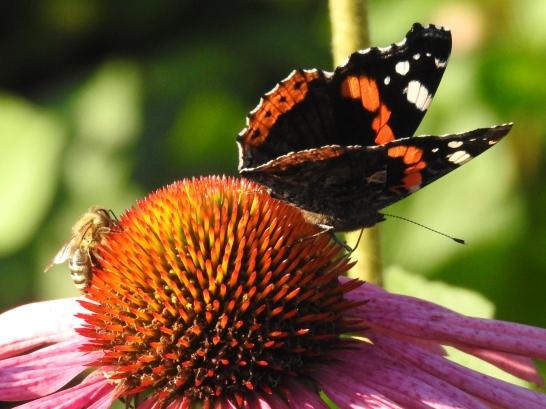 Honigbiene und Admiral auf Sonnenhut