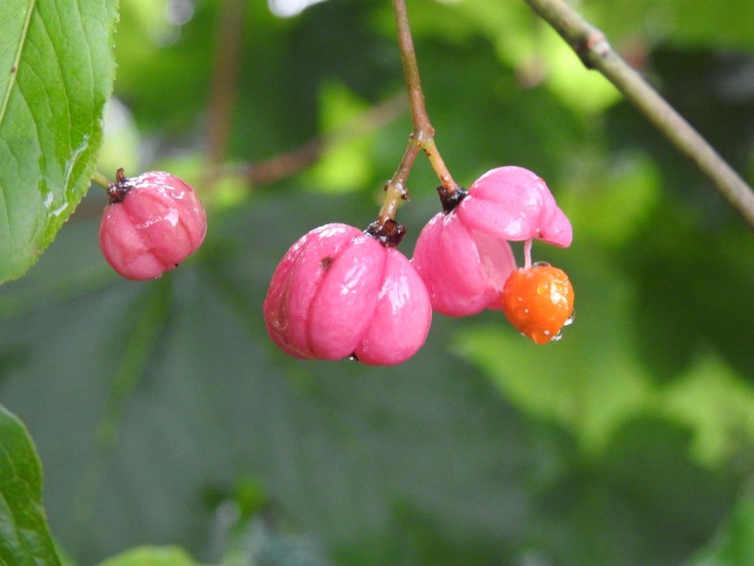 Pfaffenhütchen Früchte