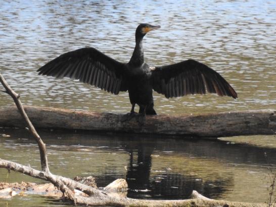 Kormoran beim Flügeltrocknen