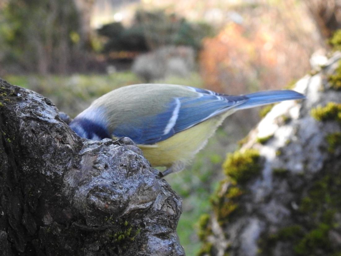 Blaumeisenkopf im Baum