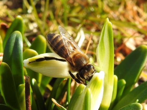 Honigbiene auf Frühlingsknotenblume