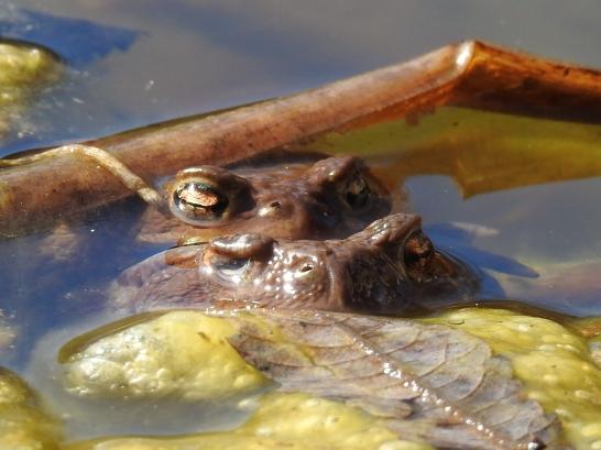 Einäugiges Erdkrötenweibchen