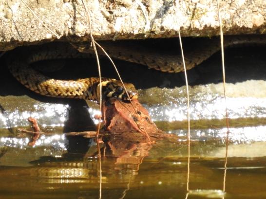Ringelnatter fängt Springfrosch