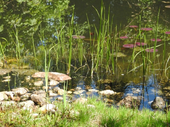 Teich mit Kaulquappen