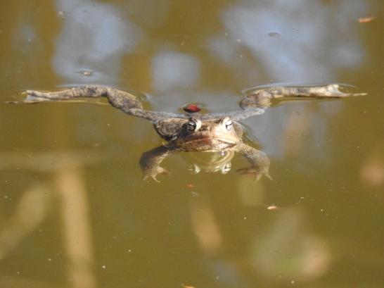 Männliche Erdkröte