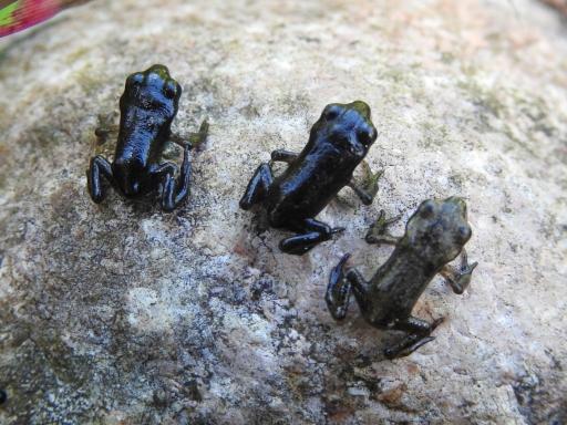 Junge Erdkröten