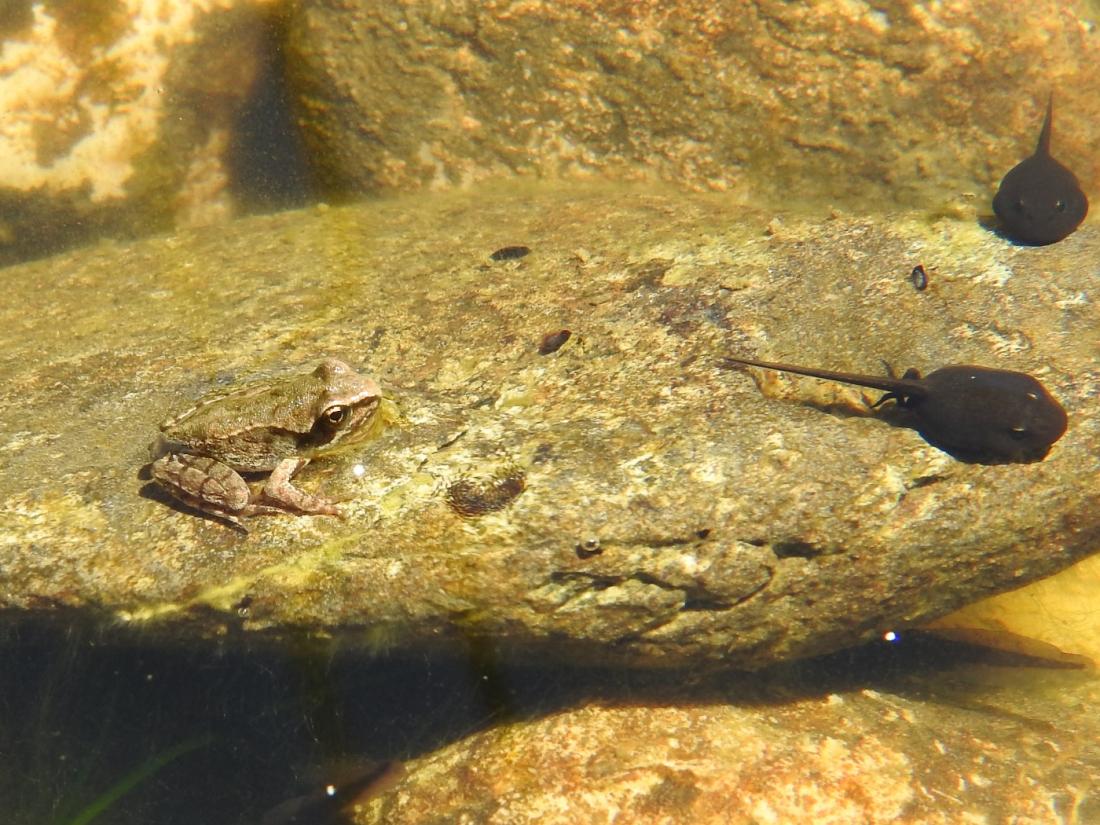 Junger Springfrosch