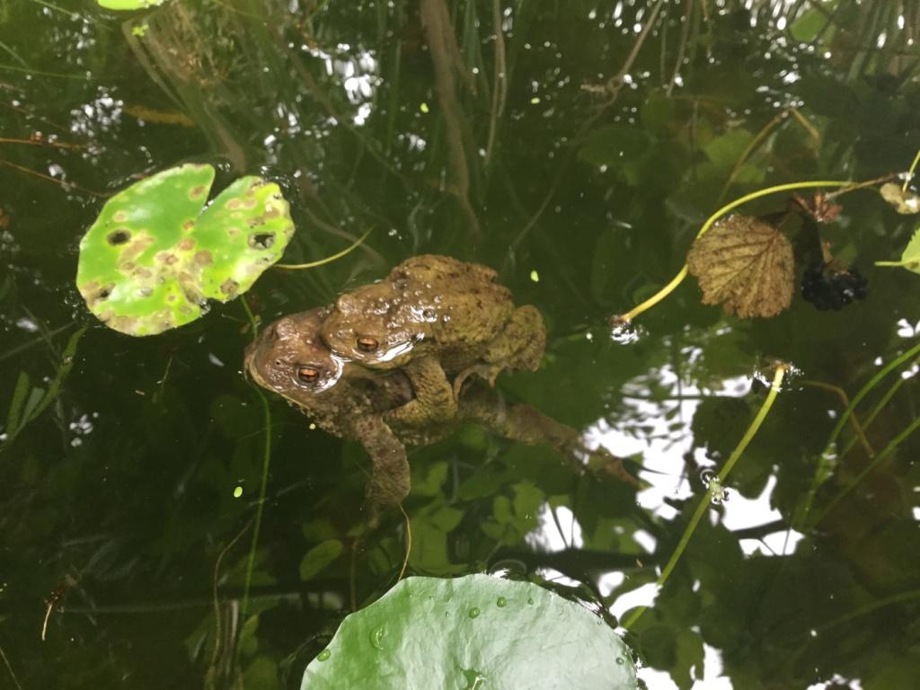 Erdkrötenpaarung im August