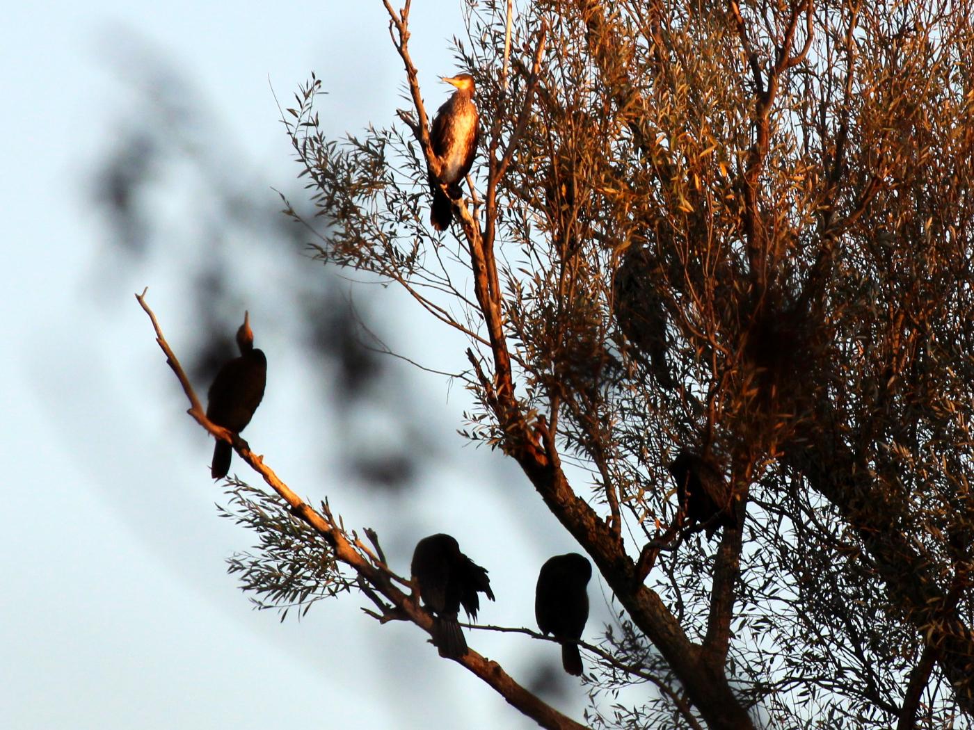 Baum mit Kormoranen