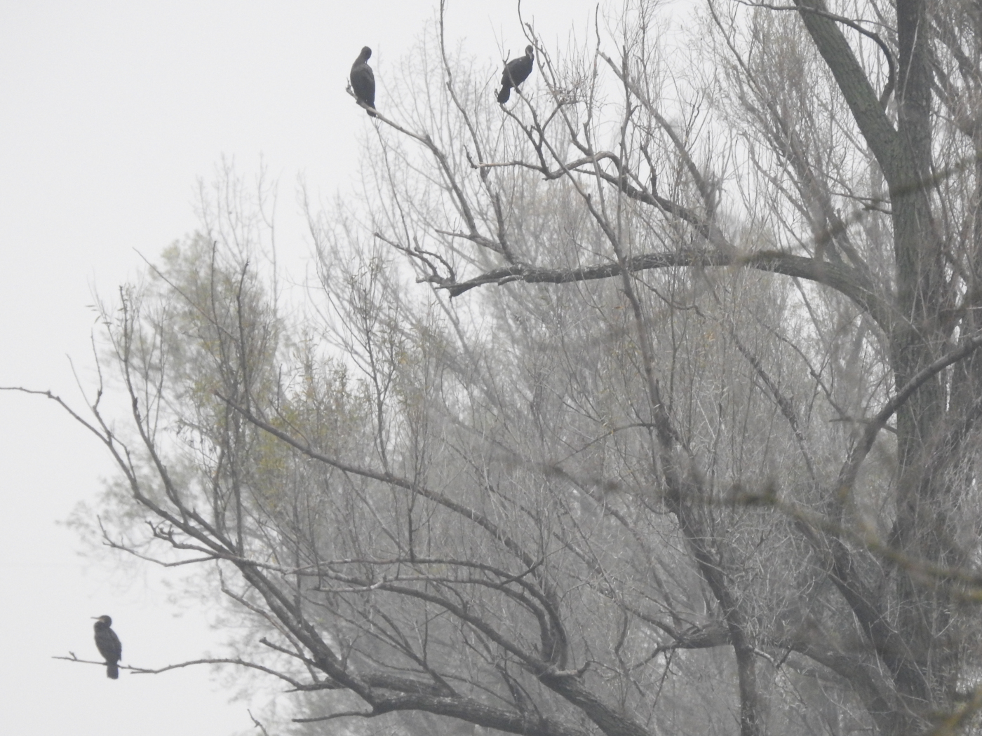Kormorane im Nebel